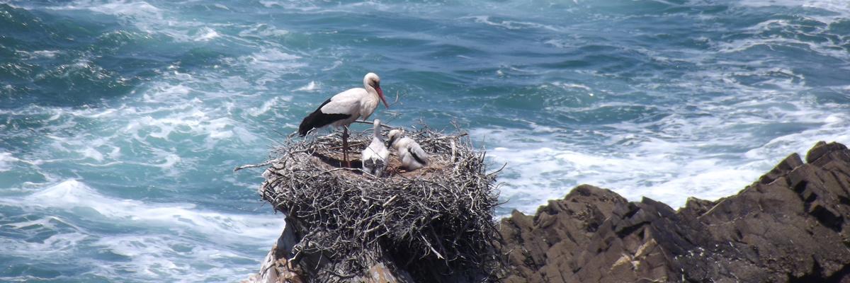 Cegonhas Cabo Sardão