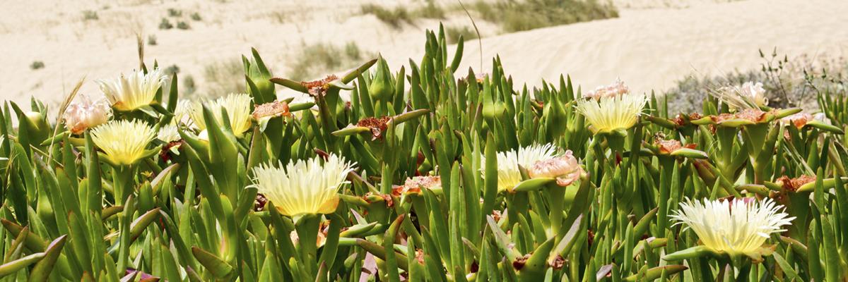 Flores de Praia